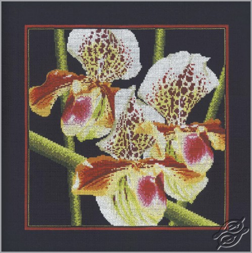 Orchids Pafiopedilum by RTO - M263